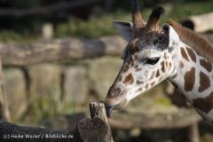 Zoo_Hannover_070314_IMG_6505