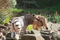 Zoo_Hannover_101014_copy_Heike_Weiler_IMG_7945