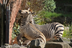 Zoo_Hannover_101014_copy_Heike_Weiler_IMG_7956