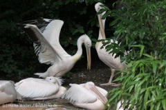 Zoo_Hannover_170714_copy_Heike_Weiler_IMG_1448