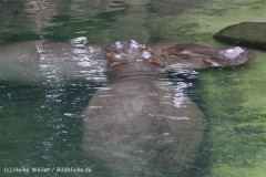Zoo_Hannover_170714_copy_Heike_Weiler_IMG_1524