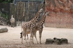 Zoo_Hannover_170714_copy_Heike_Weiler_IMG_1543