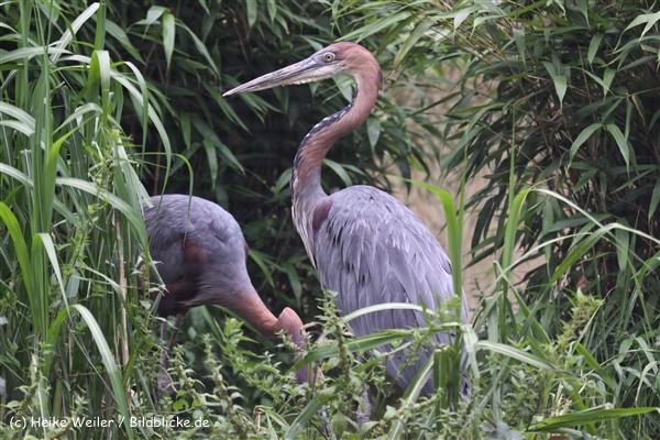 Zoo Koeln 230710- IMG_8451