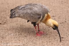 Zoo Koeln 230710- IMG_8485