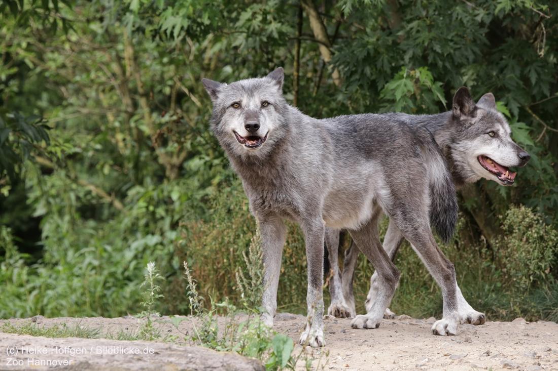 Huch, ein Timberwolf mit zwei Köpfen ;)