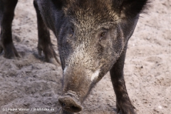 Wildpark-Lueneburg-230510-IMG_1332