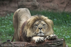 Zoo_Hannover_050914_copy_Heike_Weiler_IMG_6622