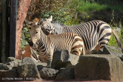 Zoo_Hannover_101014_copy_Heike_Weiler_IMG_7959