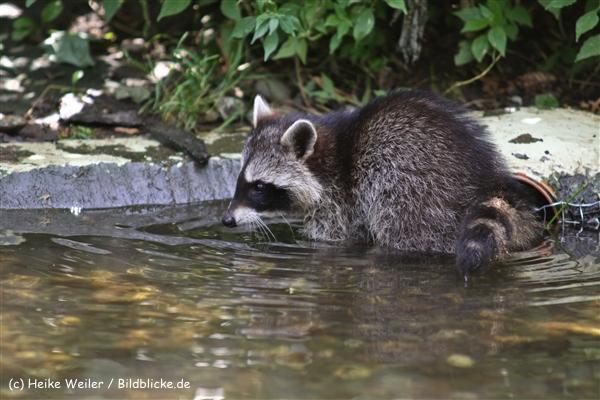 Zoo Koeln 230710- IMG_7962