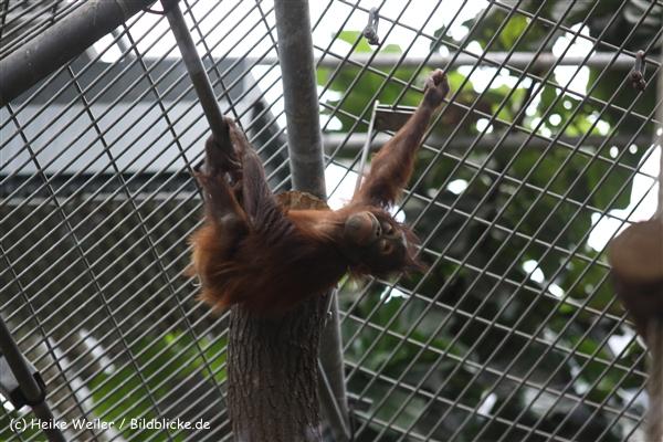 Zoo Koeln 230710- IMG_8291